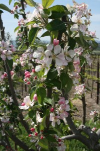 Apple blossoms at Laraneta
