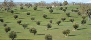 Olivas de Oro olive tree orchard
